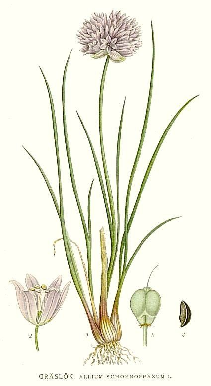 Dessin botanique de la ciboulette montrant le bulbe, la fleur et la graine