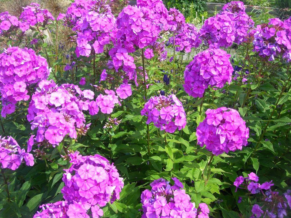 Fleurs de Phlox paniculata