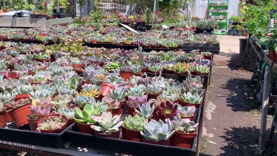 Variété de pots de succulentes (en plastique) dans une pépinière.