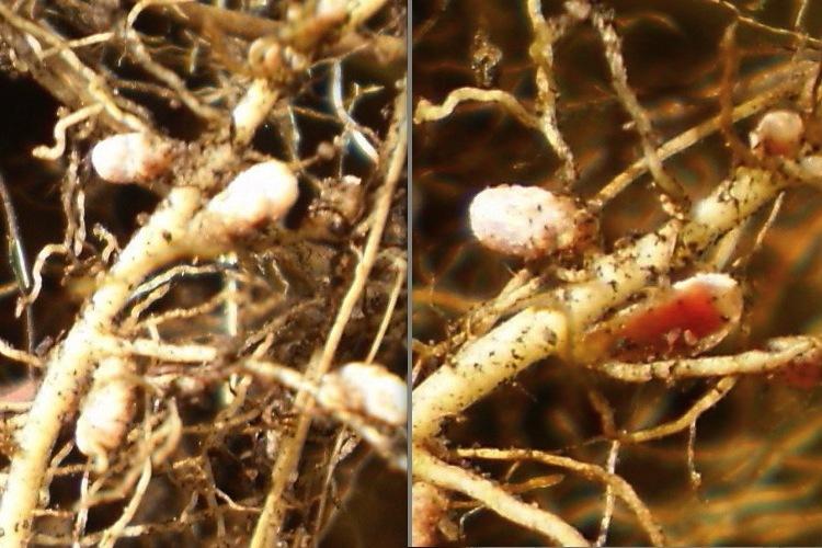 Nodules sur les racines de trèfle blanc.