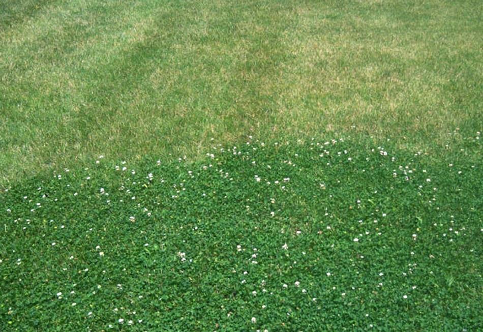 Pelouse de micro-trèfle et pelouse de graminées