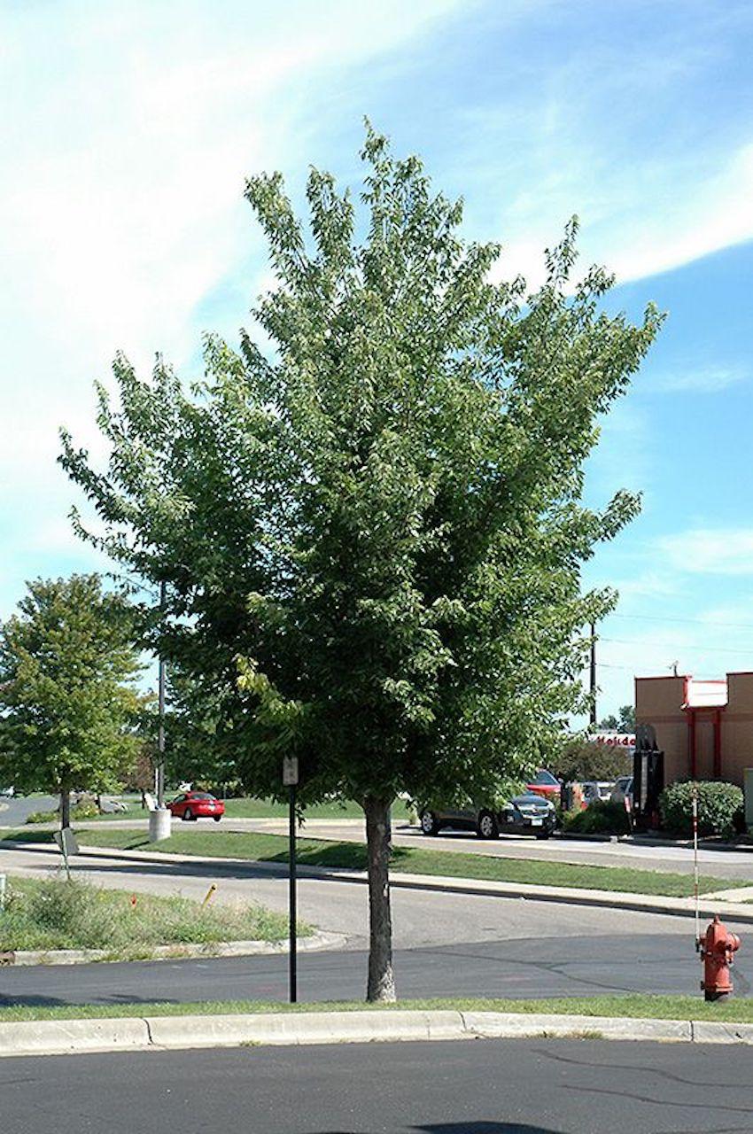 micocoulier occidental planté entre une rue et un stationnement