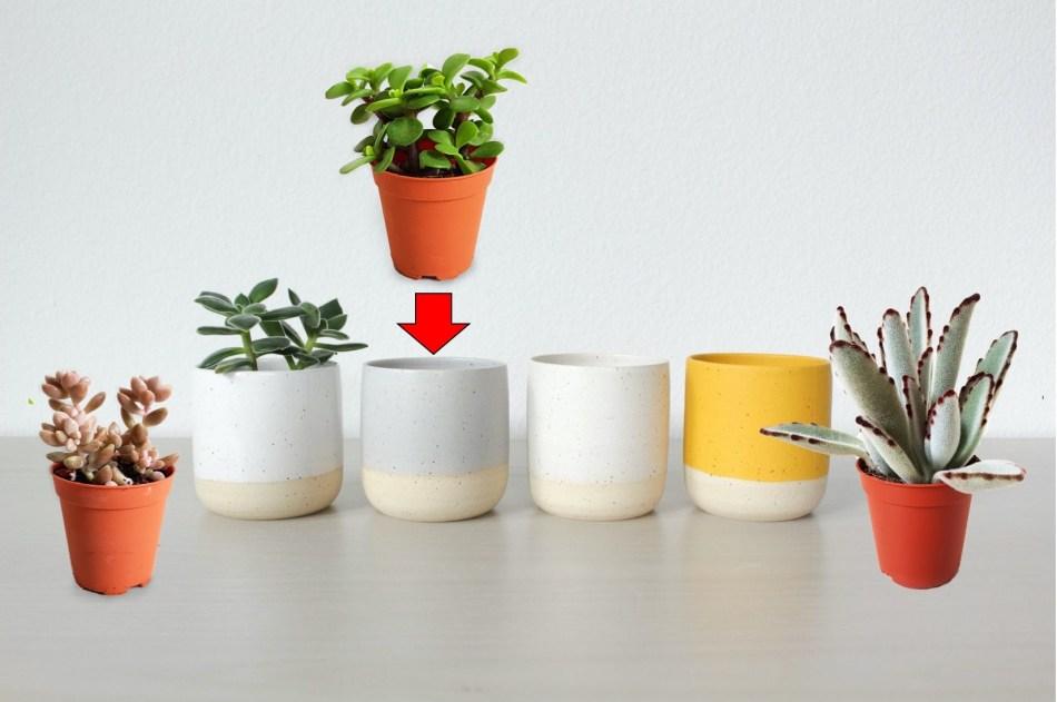 Cache-pots et succulentes en pot de culture. Une flèche montre que le  pot de culture s'insère dans le cache-pot.