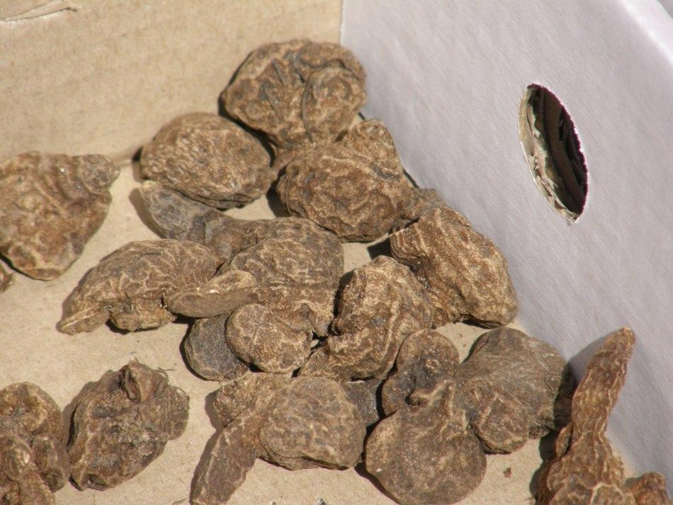 Tubercules d'anémone dans une boîte: il n'y a pas de haute ou de bas visible