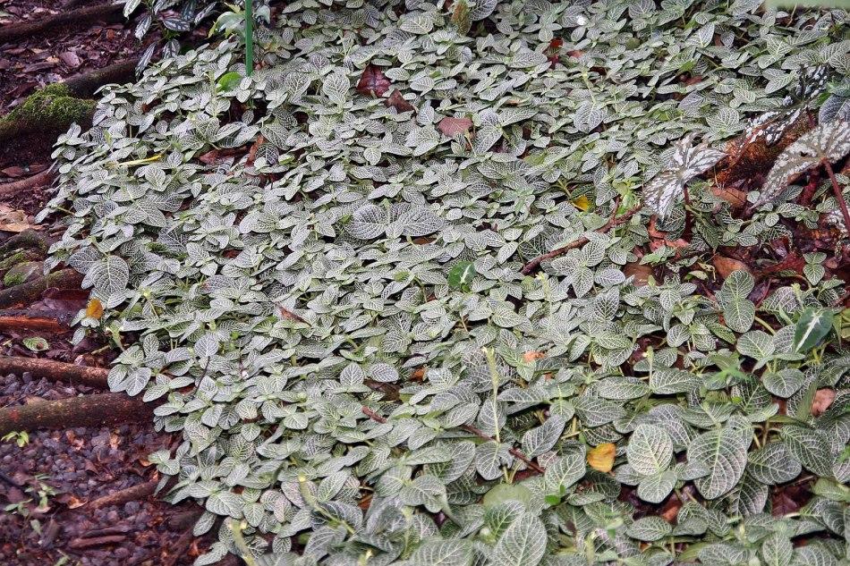 Fittonia à nervures blanches utilisé comme couvre-sol