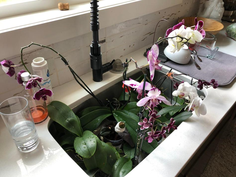Plusieurs orchidées dans un évier.