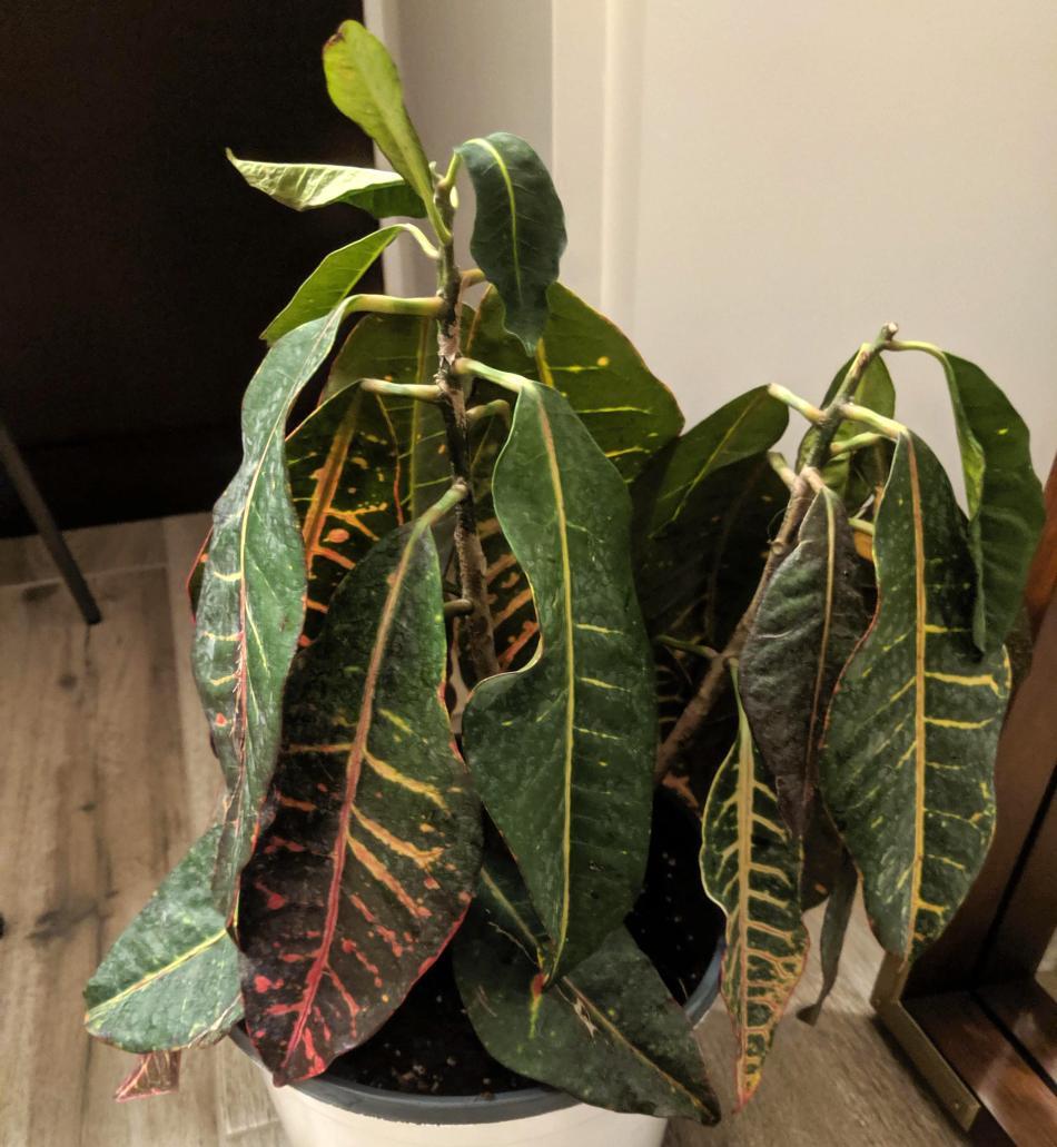 Croton très fané.
