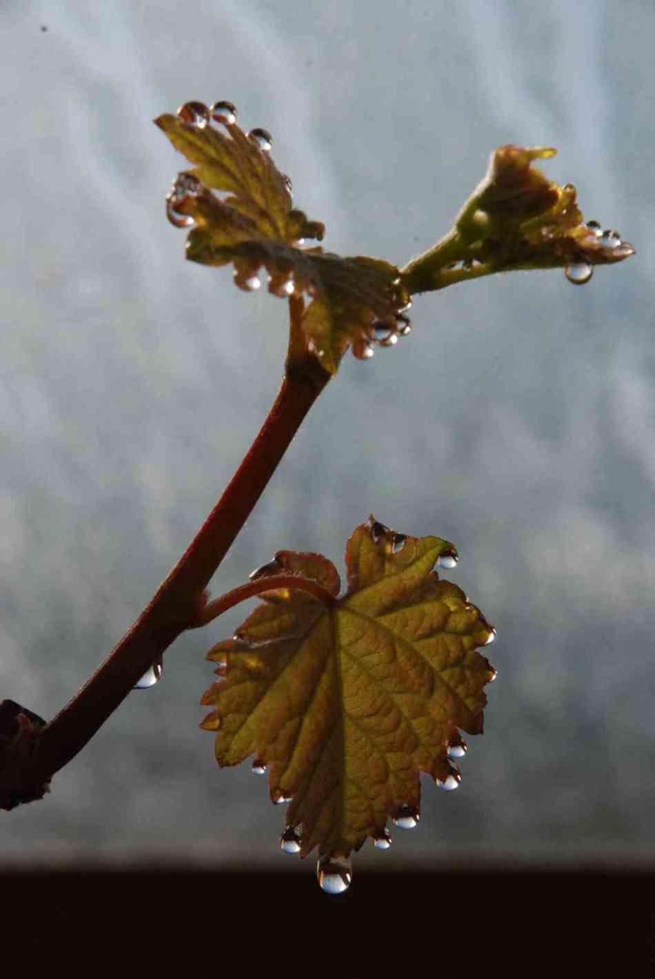 gouttes de sève sur les feuilles de vigne