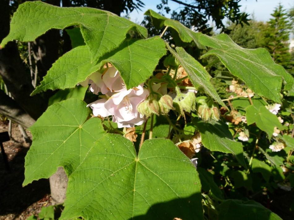 Grandes feuilles de Dombeya rose, avec fleurs roses un peu cachées.