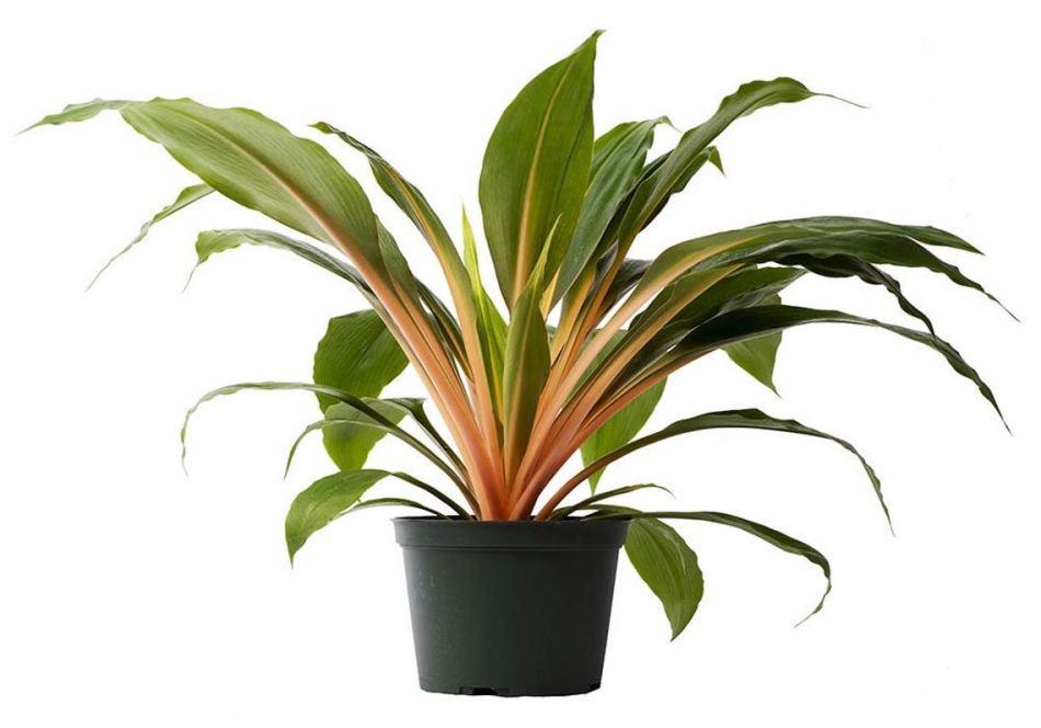 Plante-araignée orange en pot.