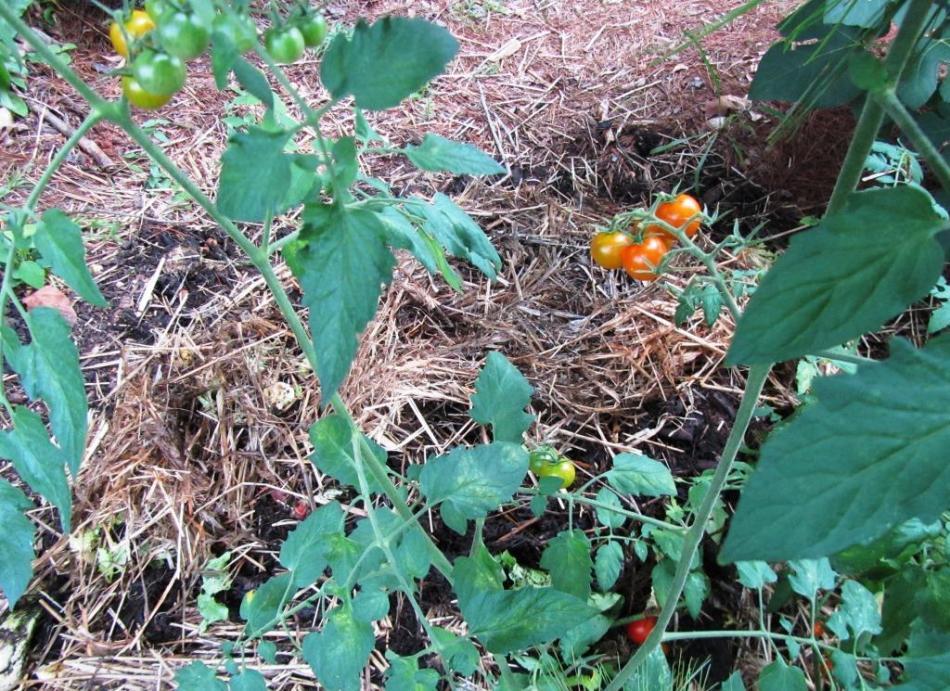 Tomate qui s'est ressemée