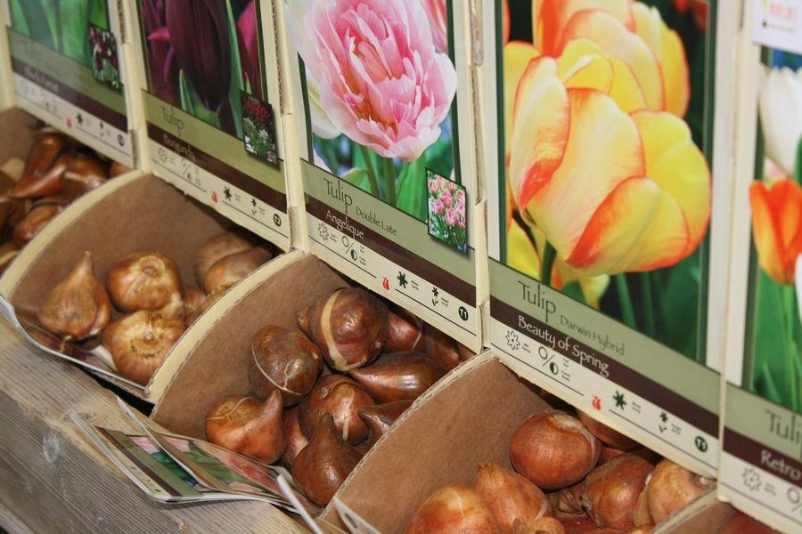 Bulbes de tulipe vendus en vrac
