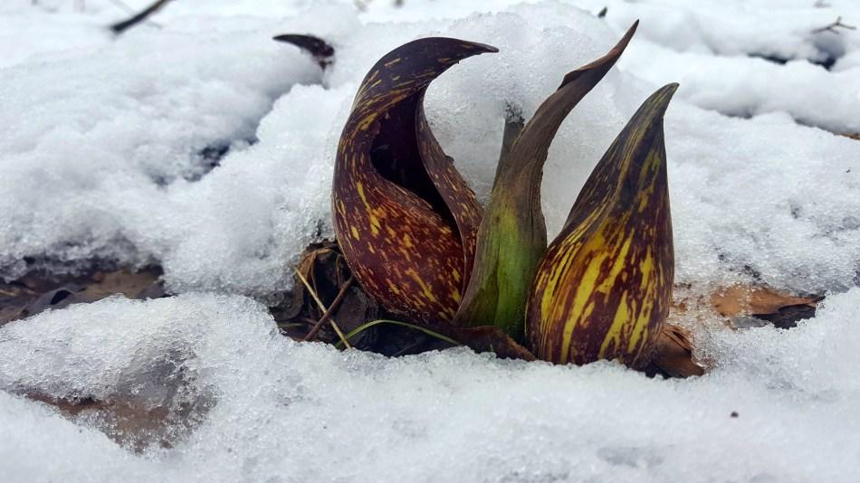 Deux fleurs de chou puant sortant de la neige.
