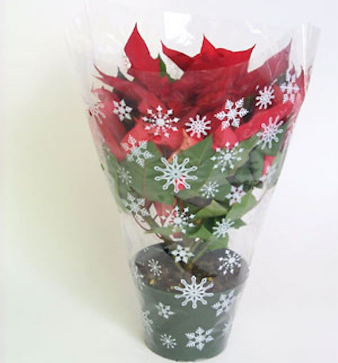Poinsettia sealed inside a plastic sleeve.
