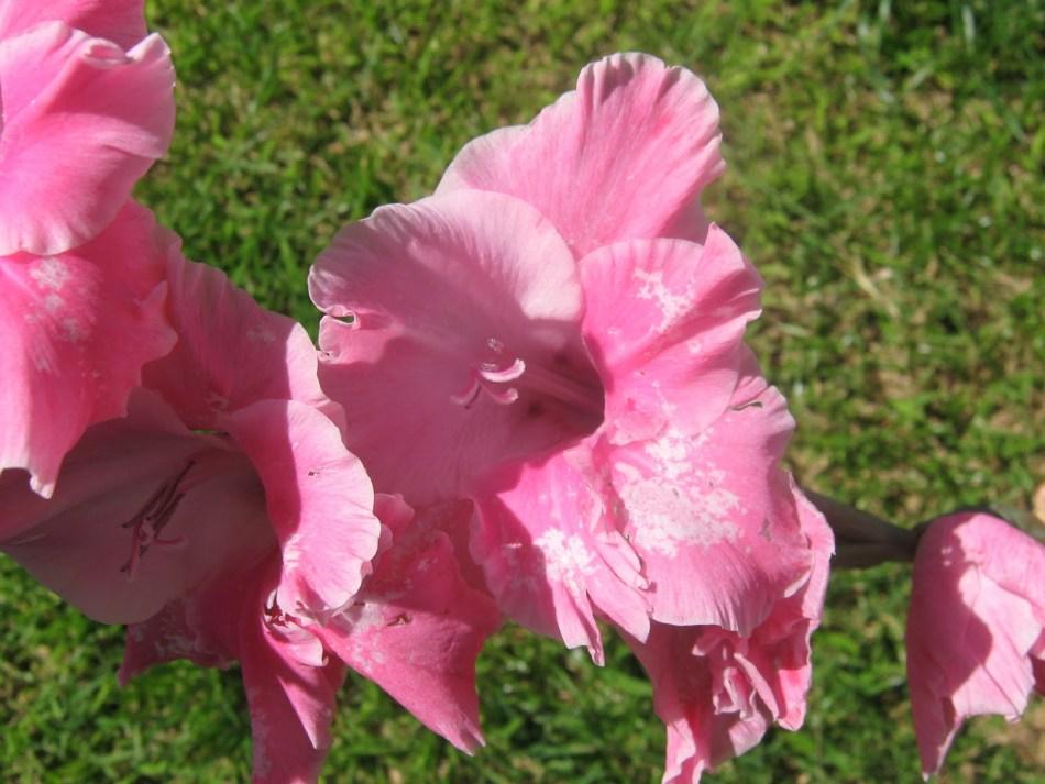 Dommages de thrips sur une fleur de glaïeul.