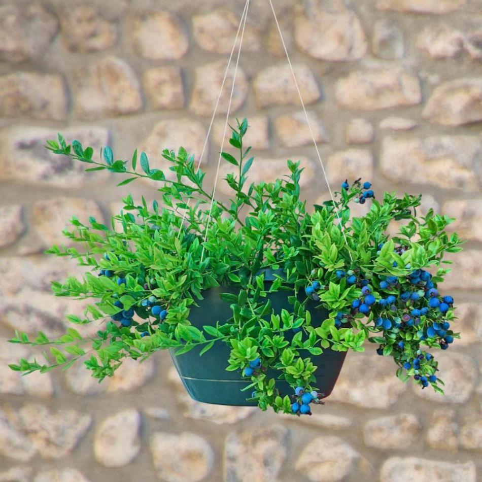 Bleuetier retombant en panier suspendu avec petits fruits bleus.