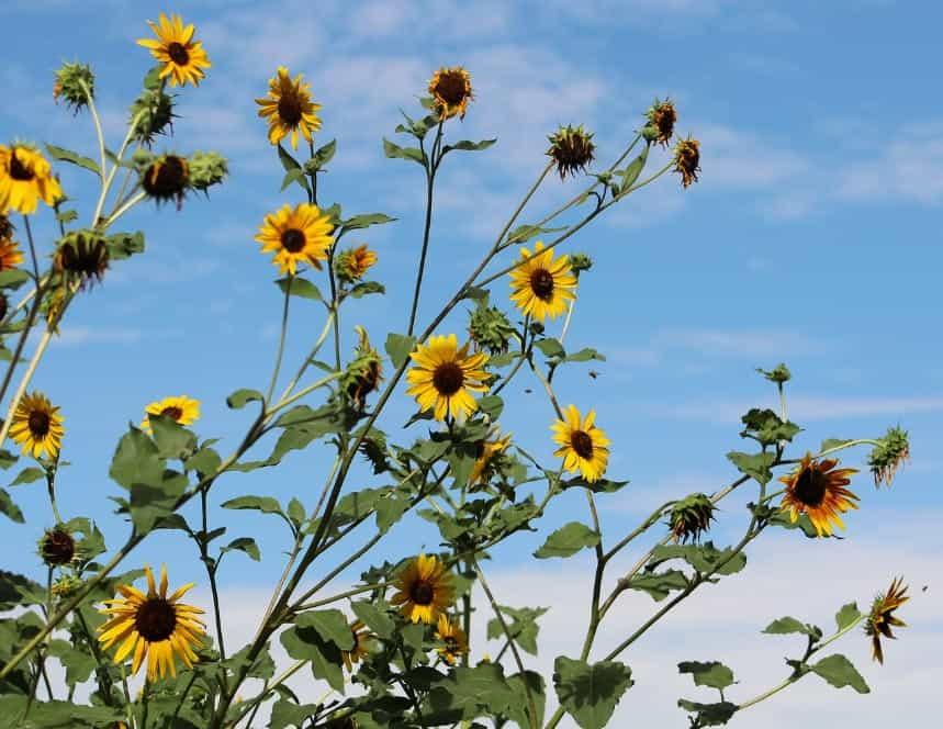 Tournesol sauvage, petites fleurs jaunes, porté aéré