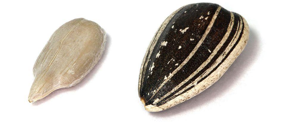 graines de tournesol décortiquées  et non décortiquées