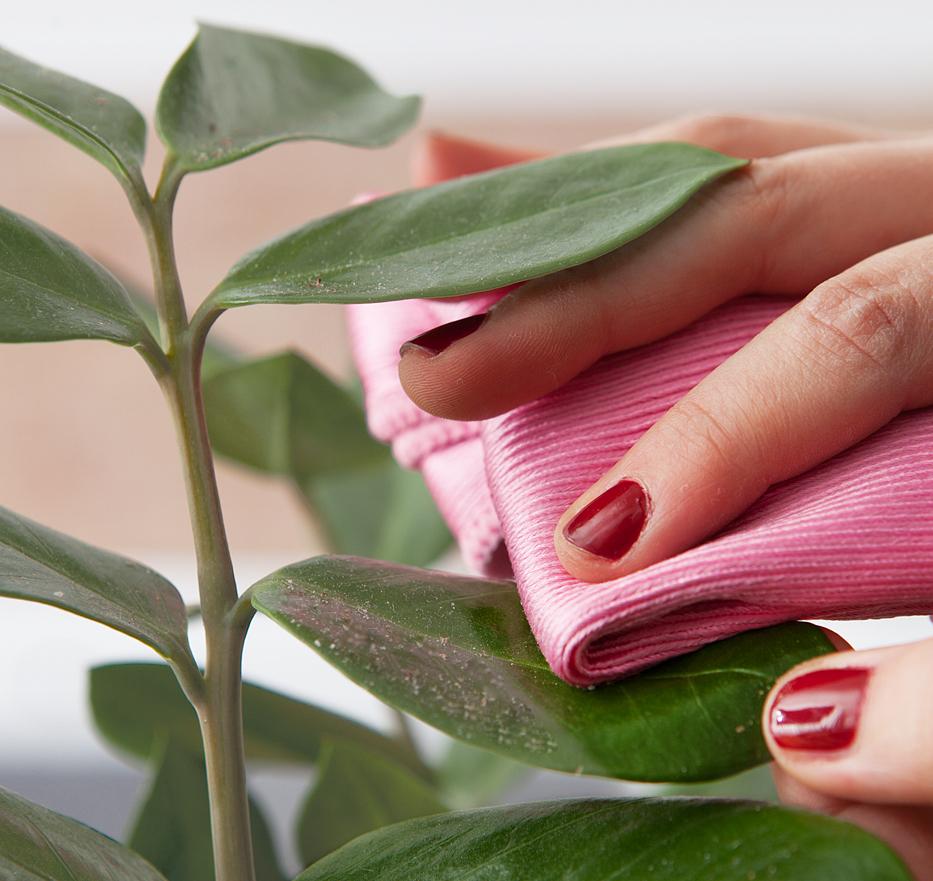 Main lavant une feuille de plante d'intérieur avec un linge rose.
