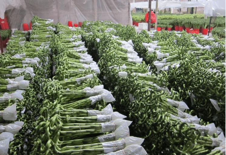 Boutures de lucky bambou en spirale prêtes à expédier dans une serre chinoise.