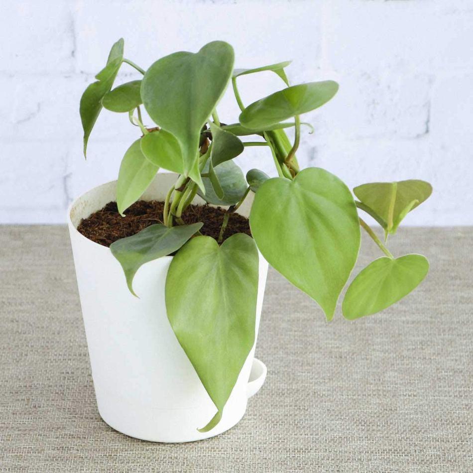 Philodendron grimpant dans un pot blanc