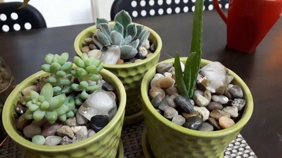 3 plantes succulentes dans des pots vert lime avec des glaçons sur le dessus.p.