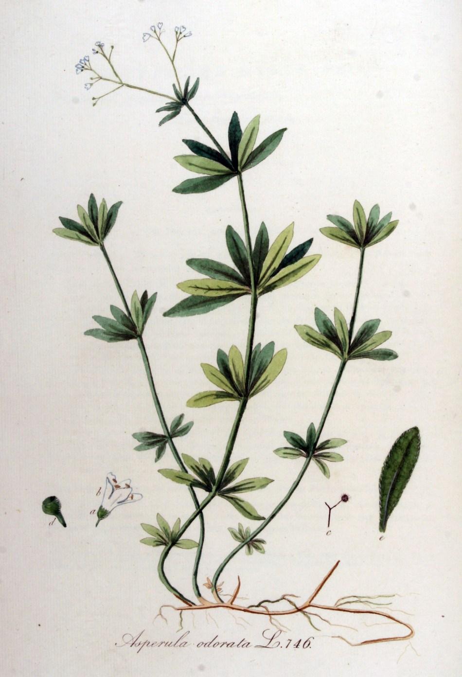 Illustration botanique d'un gaillet odorant, montrant ses différentes parties.