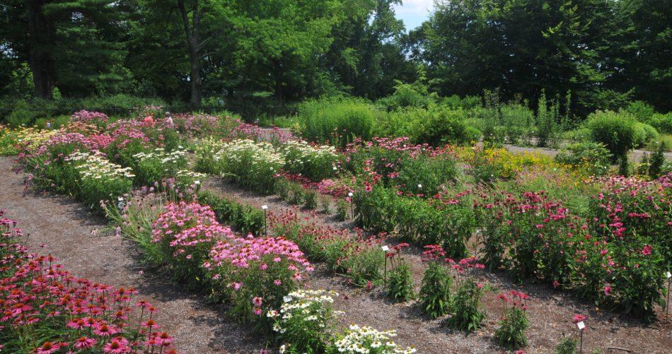 Jardin d'essai de vivaces avec échinacées