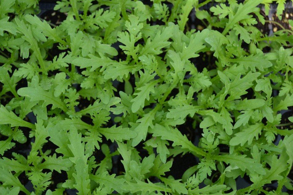 Semis de chrysanthème couronné montrant leurs premières vraies feuilles, à marge découpée.