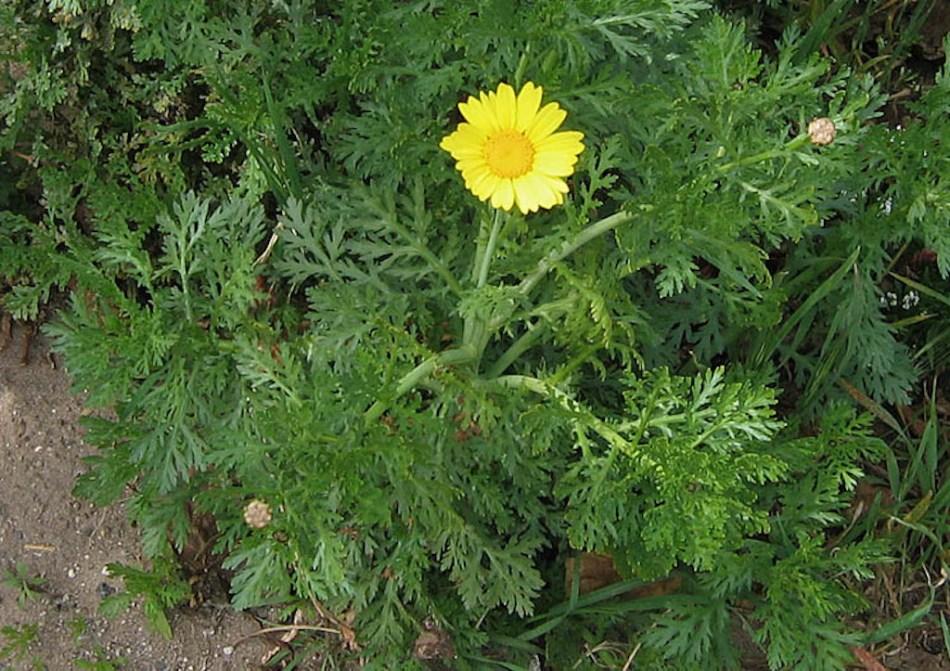 Plante de chrysanthème couronné avec feuillage vert très découpé et une fleur jaune en forme de marguerite.