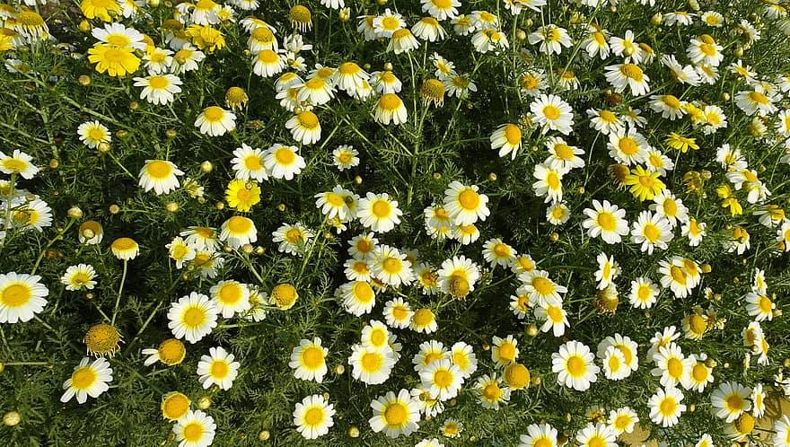 Masse de fleurs blanches de chrysanthème couronné.