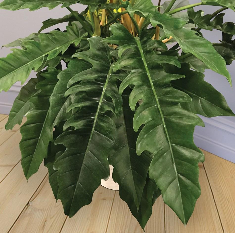 Philodendron à  longues feuilles dentées formant une rosette