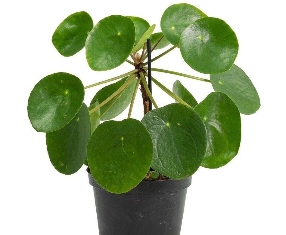 Petite plante à feuilles rondes et vertes, tige dressée.