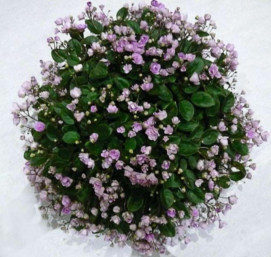 Violette africaine rampante avec tiges multiples et fleurs doubles lavandes.