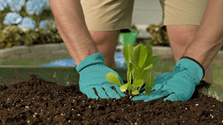 Deux mains qui plantent une laitue dans un jardin de brouette.
