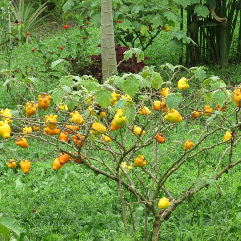 Morelle mammiforme de grande taille, un arbuste avec beaucoup de fruits orange, peu de feuilles.