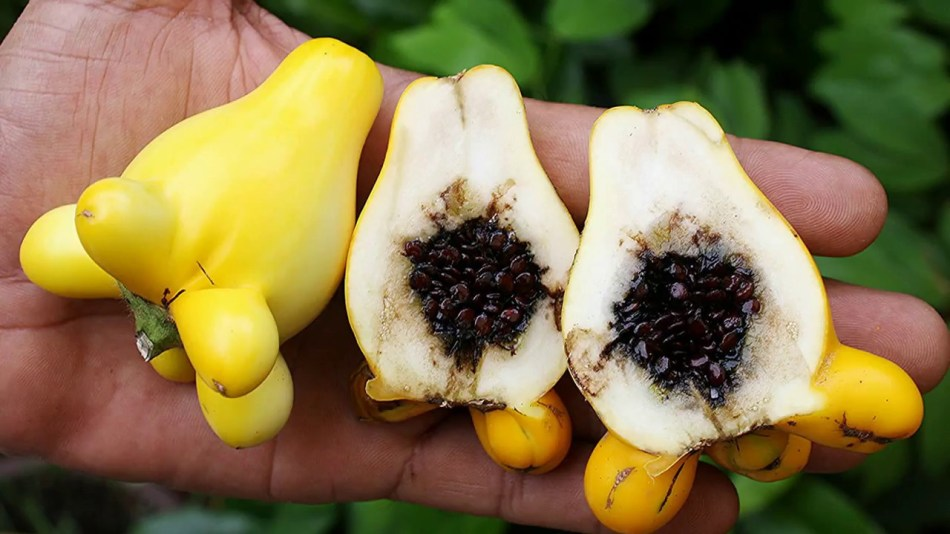Fruit de la morelle mammiforme coupé en deux, montrant une chair blanche spongieuse et des graines foncées.