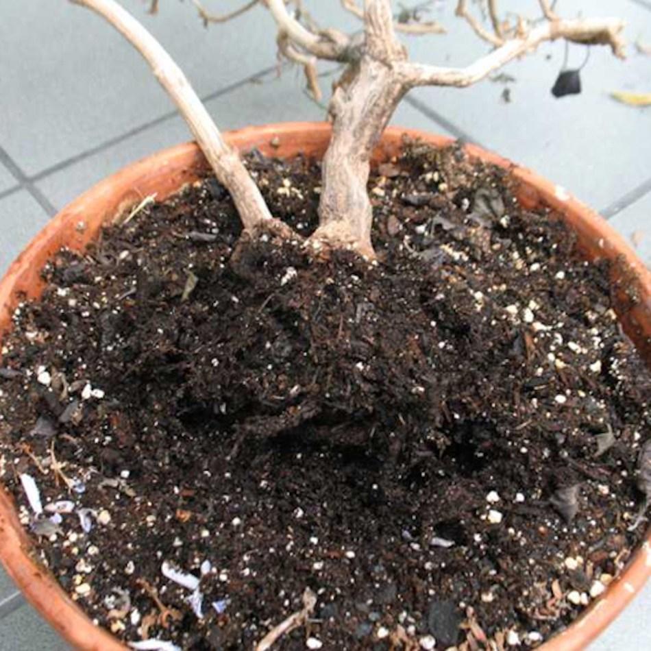 Plante morte en pot avec des racines pourries.
