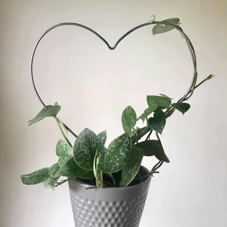 Scindapsus palissé sur un support en forme de cœur.