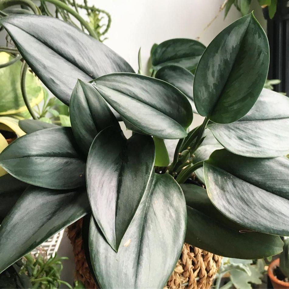 Scindapsus treubii 'Moonlight' avec des feuilles plus étroites principalement argentées à l'exception de la nervure centrale verte.