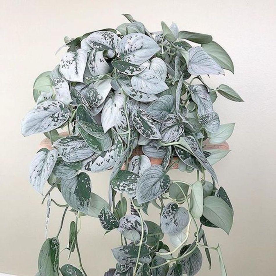 Scindapsus pictus 'Silvery Ann' à coloration variable, certaines feuilles presque entièrement argenté blanchâtre.