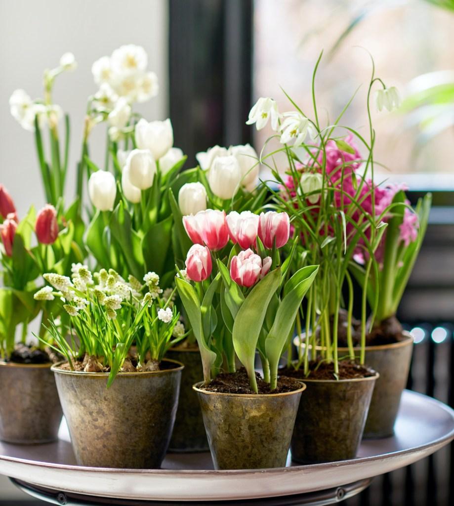 Mélange de bulbes prêts-à-fleurir, comprenant des tulipes, des muscaris et des fritillaires.