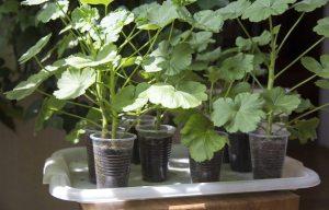 Boutures de pélargonium enracinées dans des gobelets en plastique transparent.