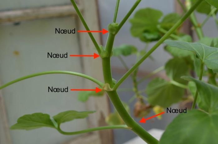 Tige de pélargonium avec des flèches pointant vers les nœuds des feuilles.