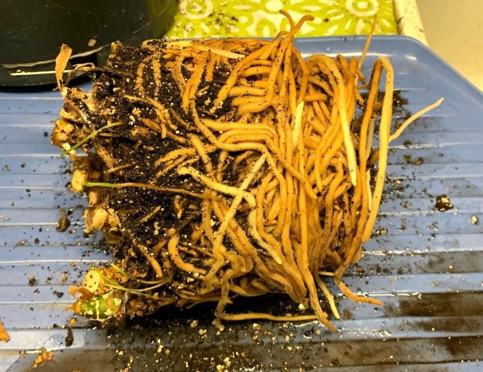 Aglaonema rabattu au sol et enlevé de son pot. Motte de racines enveloppée de racines épaisses.
