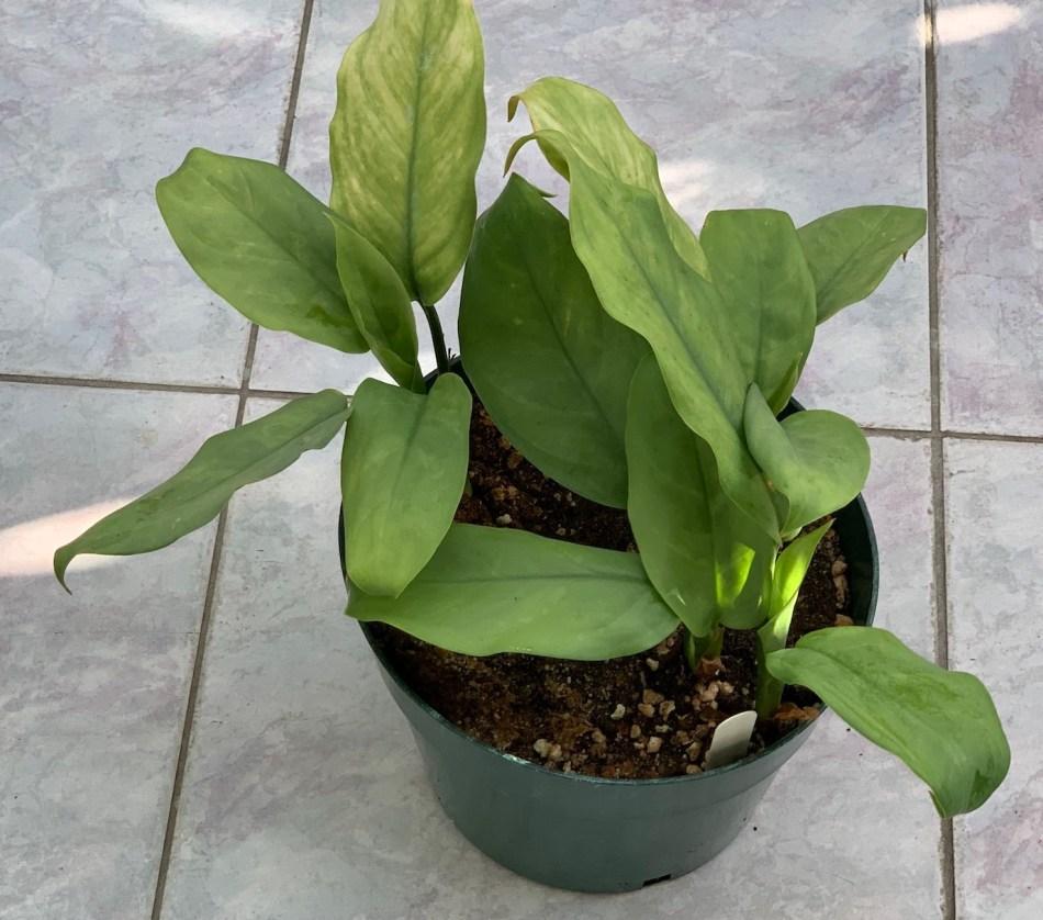 La plante mère d'aglaonéma qui a repoussé à partir des souches replantées.