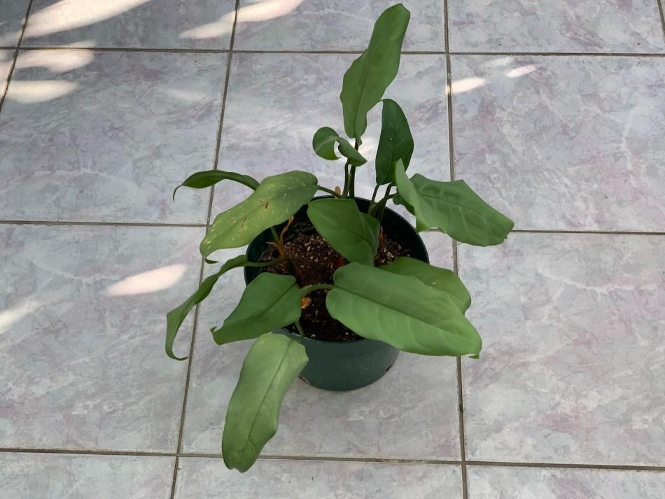 La métamorphose 1: feuilles plus grosse, mais moins nombreuses.