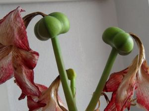Capsules vertes d'amaryllis avec fleurs séchées encore attachées.