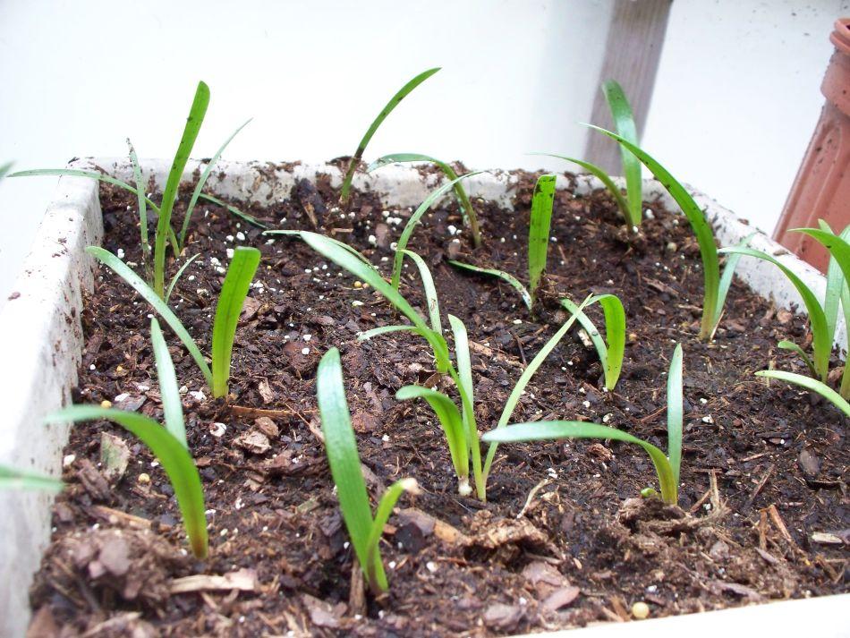 Jeunes plants d'amaryllis avec des feuilles graminiformes.