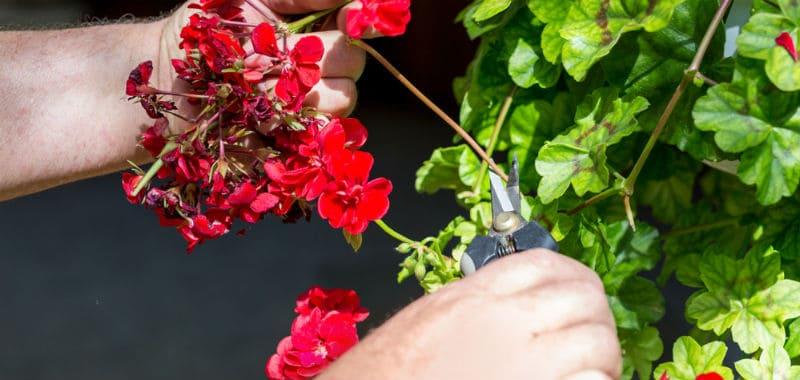 Suppression des fleurs fanées d'un pélargonium.